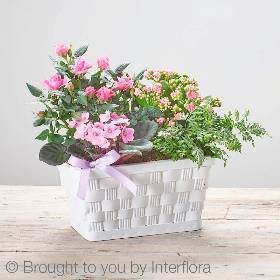This attractive planted basket arrangement is so pretty featuring a pink african violet, a pink kalanchoe, a pink rose and pteris ensiformis planted in a white woven basket. Sandra's Florist will carefully create this Mother's Day gift that will bring a smile to her face.