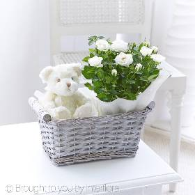 A thoughtful gift to celebrate the arrival of a new baby boy, this pretty grey wash gift basket has something for everyone. There's a beautiful white miniature rose plant to display and enjoy, which can also be planted into the garden, and a snuggly white teddy bear for baby as well.  Sandra's Florist will bring the gifts together displaying them beautifully and will carefully hand deliver them.