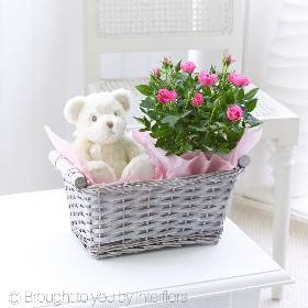 A thoughtful gift to celebrate the arrival of a new baby girl, this pretty grey wash gift basket has something for everyone. There's a beautiful pink miniature rose plant to display and enjoy, which can also be planted into the garden, and a snuggly white teddy bear for baby as well.  Sandra's Florist will bring the gifts together displaying them beautifully and will carefully hand deliver them.