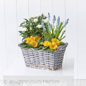 Our Sunny Skies Planted Basket is the perfect way to brighten up that someone special day with flowers. Sandra's Florist will select a mix of seasonal Spring plants including yellow primrose, blue muscari and cream rose plant prettily presented in a grey gift basket. Sunny Skies Planted Basket makes the ideal gift as it comes already planted it is hassle free – all the lucky recipient needs to do is find the perfect spot at home to display their new pretty Spring planter!